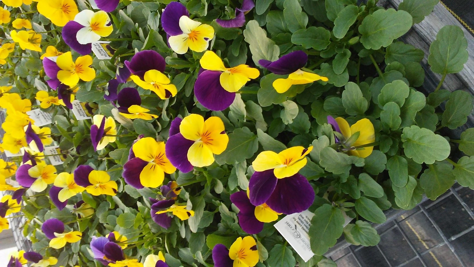 Woodland Trails Greenhouse Pansies